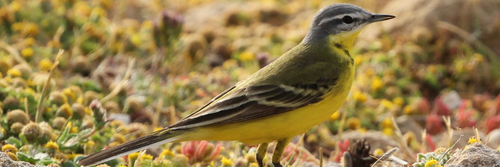 Image showing Yellow Wagtail