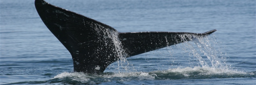 Grey whale by NOAA and Dr. Steven Swartz