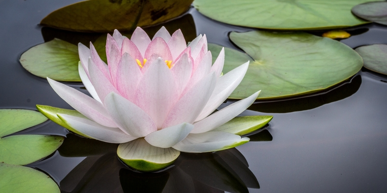 Flower and lily pad on the water
