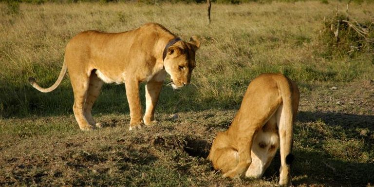 Lions digging a hole