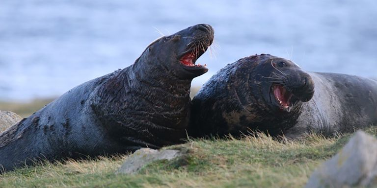 Sea lions on a patch of grass