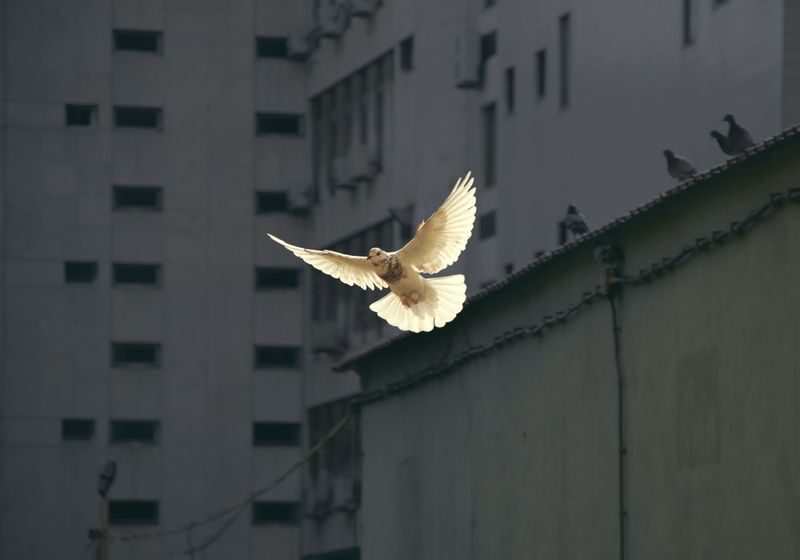 Peace dove flying