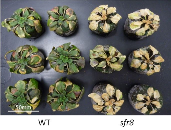 SFR8 plant (from Dr Heather Knight)